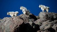 The Three Lookouts - Mountain Goats of Mt. Evans
