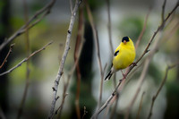 American Goldfinch #1