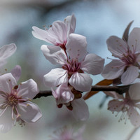 Ornamental Plum #1